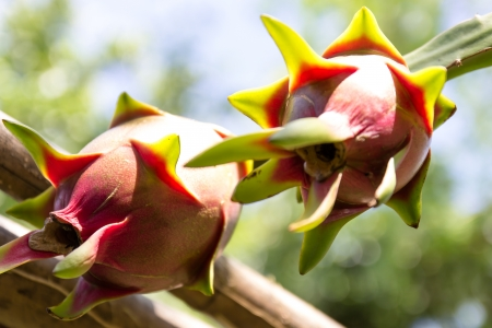 Vivid and vibrant dragon fruit  on a tree Stock Photo