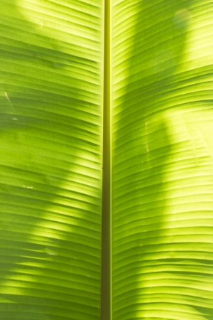 Bright Banana Leaf Background,Close-up a big banana leaf glowing in the sun Stock Photo