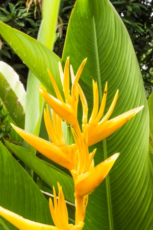 Heliconia flower in garden Stock Photo