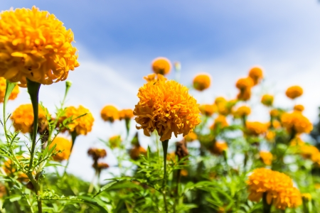 Marigolds flowers and blue sky in garden ,Thailand