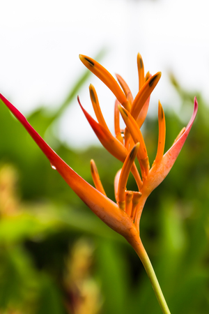 Heliconia flower blossom in garden on flowers at backgroud