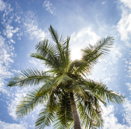 A Coconut tree and  sunny blue sky