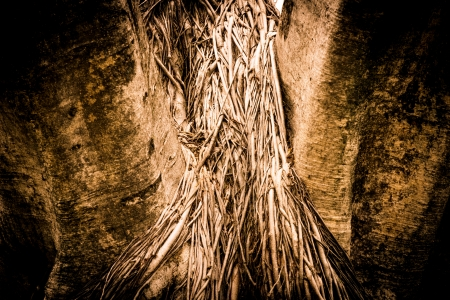 Close-up of a Banyan interlaced roots in garden  photo