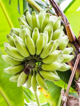 musa: Silver Bluggoe,  Musa sapientum Linn or Musa  ABB group   Kluai Hak Mulk  name Thailand on banana tree Stock Photo