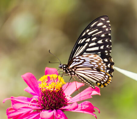Butterfly on beautiful pink flower plants for butterfly in garden.Nature