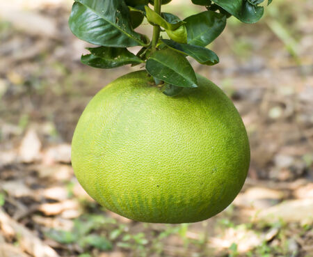 Green pomelo fruit on tree