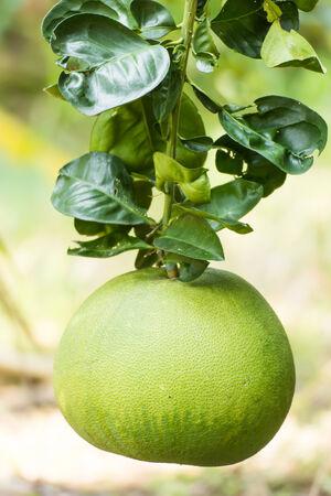 Green pomelo fruit on tree