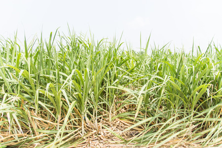 sugarcane plant