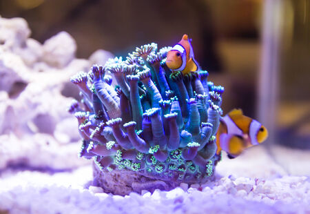 Coral and Premnas biaculeatus