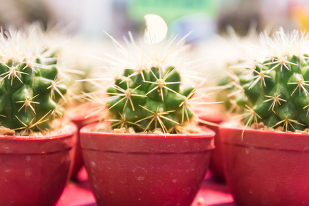 cactus in potted Stock Photo