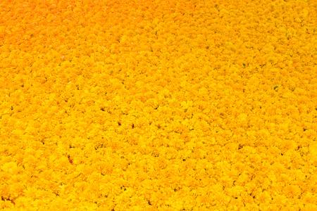 Marigold flowers Full frame background