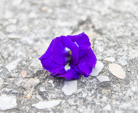 Butterfly pea Clitoria ternatea L flower