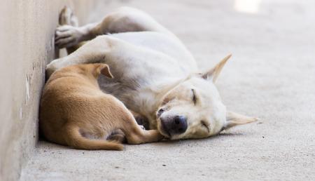 Thai dog and Thai Puppy sleeping on background