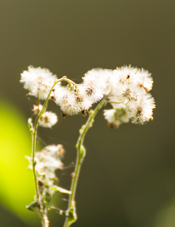 White Grass flower on nature background