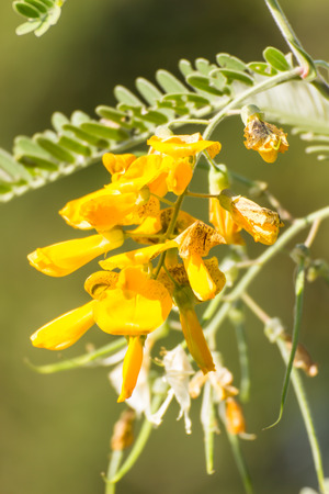 Sesbania Flower on nature background