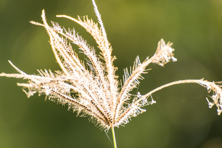 One white grass flower on nature background