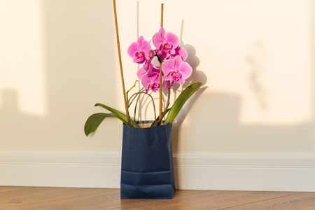 Flowers surprise in the gift bag. Pink orchid indoors on the floor, background light solar wall, copy space Stock Photo