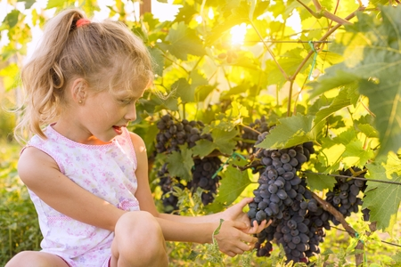 Little girl holding bunch of grapes, sunset background. Stock Photo