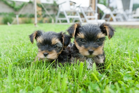 Two small yorkshire terrier puppy posing in nature. Dogs are sitting on green lawn, looking at the camera, close-up Stock Photo