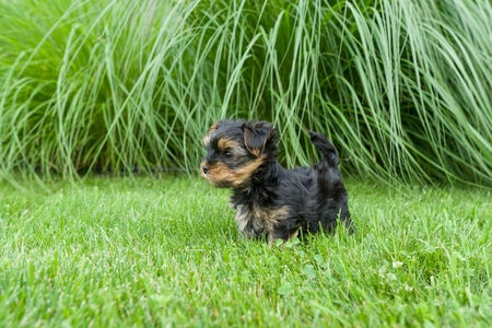 Little Yorkshire Terrier puppy having fun on the grass