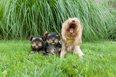 Outdor portrait of mummy and two small puppies of Yorkshire terrier. Dogs are sitting on green lawn, looking at the camera