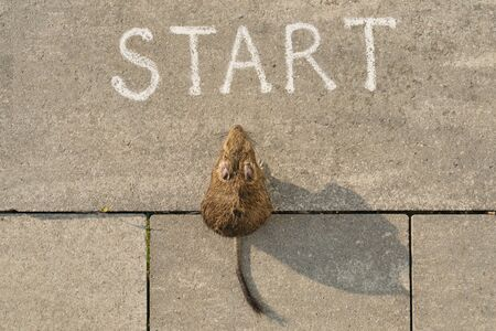 Start, 2020 new year of the rat. Top view of start text and rodent sitting and looking forward