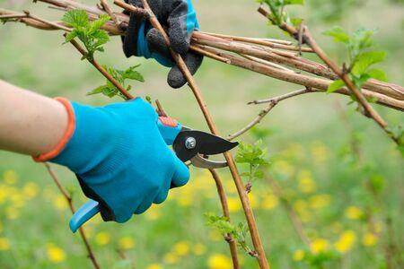 Closeup of hands doing spring pruning of raspberry bushes, gardener in gloves with garden pruner