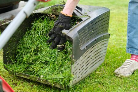Close up of fresh mowed grass in a lawn mower.