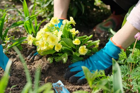Close-up of woman hands planting yellow primrose flowers in garden. Female using garden tools, spring work on the ground Foto de archivo