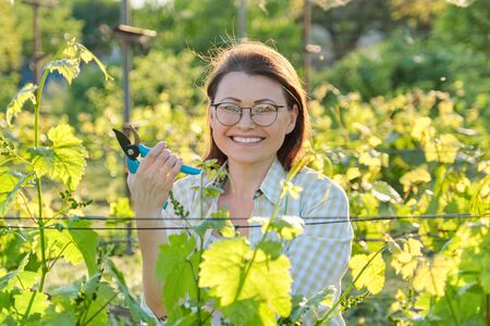 Woman working with vine bushes, spring summer pruning vineyard, female with pruner scissors on sunny day Stock Photo