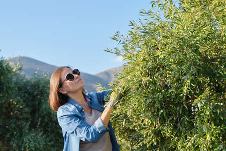 Woman working in the olive garden, mountain background, sunny autumn day