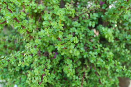 Green floral background, closeup texture. Decorative bush succulent Portulacaria afra for landscaping gardens, homestead courtyards, southern parks