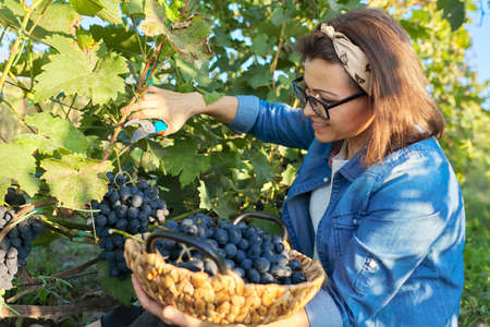 Woman cutting garden secateurs harvest blue grapes, sunset vineyard background