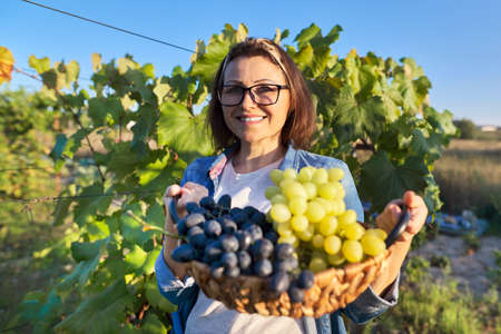 Happy smiling woman with blue and green grapes harvest in basket, sunset vineyard background
