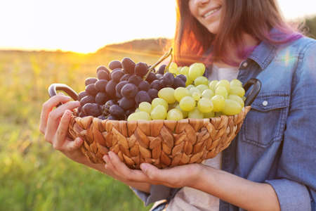 Young woman with basket of harvest of blue and green grapes, sunset natural landscape background, grape closeup. Gardening, vineyard, harvesting, healthy natural organic food concept Stock Photo