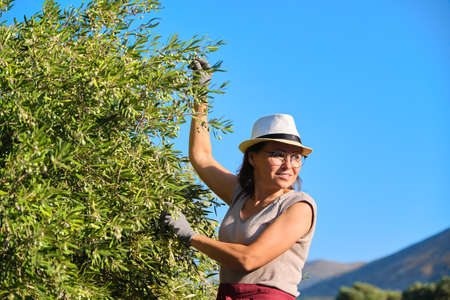 Adult woman holds in her hand branch with an olive tree, copy space, background olive grove in mountains, sky, sunset scenic landscape