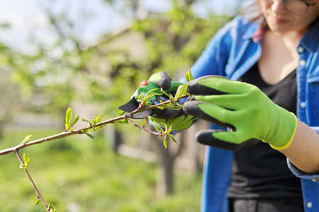 Spring gardening, woman gardener in gloves with pruning shears cutting dry branches on tree, forming peach tree. Hobby, gardening, farm concept 版權商用圖片
