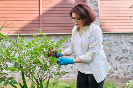Caring for a lilac bush in the garden, a woman using a pruner to cut wilted flowers.