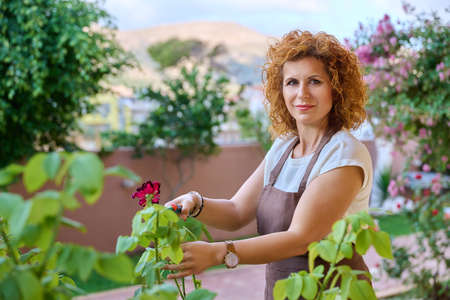 Woman in garden with pruner caring for flowering rose bush Stock fotó