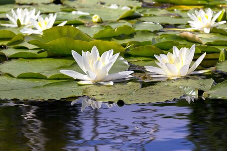 White Water Lilies on a lake in a park. Stock Photo