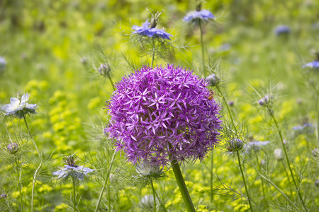 allium flower: One giant purple allium flower in the Garden with Nigella damascena in backgrounds. Stock Photo