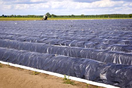 cultivable: Asparagus Field in the Village Schlunkendorf near Beelitz (Brandenburg, Germany).