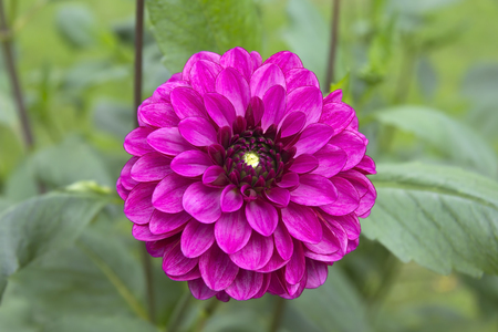 tuberous: Dahlie, Dahlia. Dahlia is a genus of bushy, tuberous, perennial plants native to Mexico, Central America, and Colombia. There are at least 36 species of dahlia. Dahlia hybrids are commonly grown as garden plants. Stock Photo