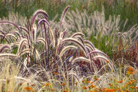 Verschiedene Ziergräser im Garten. Standard-Bild - 46943809