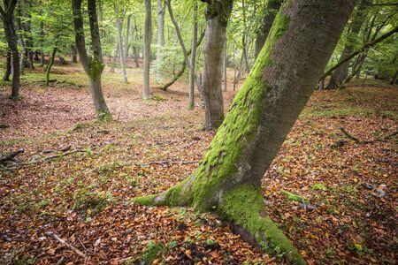 beech tree beech: Forest in atumn. Beech Tree with moss.