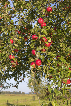 tree plan: Apple Tree in Autumn. What lakes in the Havelland, Brandenburg Germany.