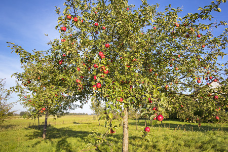 Landscape with apple tree in autumn. What lakes in the Havelland, Brandenburg Germany. Standard-Bild