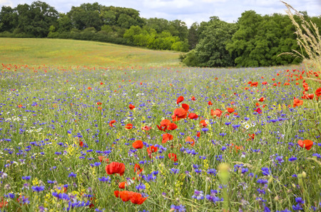 red poppies on green field: Flowering red poppies and cornflowers at the field. Landscape was seen in Brandenburg, Germany. Stock Photo