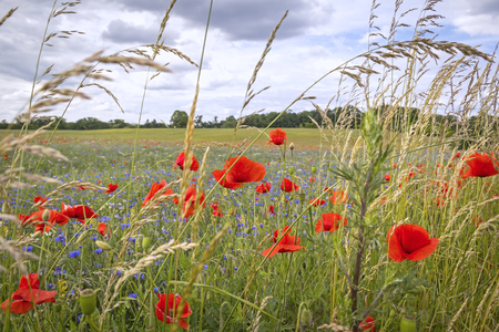 papaver: Flowering red poppies and cornflowers at the field. Landscape was seen in Brandenburg, Germany. Stock Photo