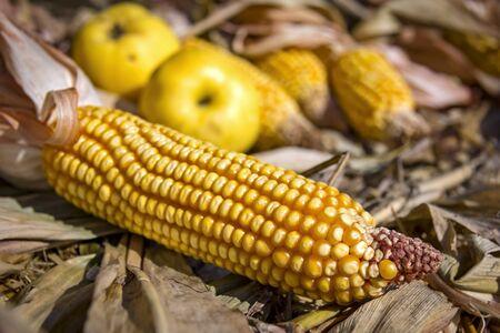 corncob: Still life with corncob and apples in autumn Stock Photo